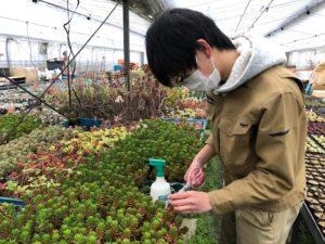 古池農園さんにて、多肉植物の挿し穂を採取