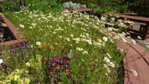 カモミールが美しい園芸療法実習園