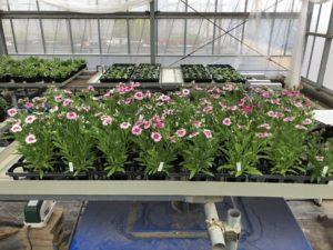 花き生産コース2年の卒業研究用植物