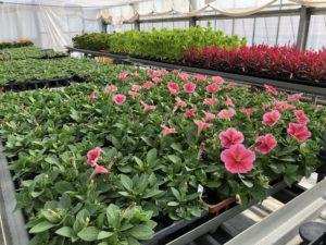 花壇植栽用に生産している苗物