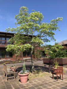 アカデミーシンボルツリー「なんじゃもんじゃ」の木