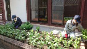 花苗を仮置きする学生。センニチコウ、トレニア、サルビア・ファリナセア、ジニアの植栽