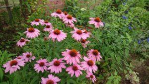 この季節の花エキナセア・プルプレア