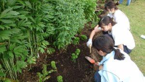 ナデシコ テマリソウ'てまり姫'の植栽
