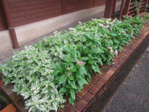 ペンタスの花(7月27日撮影)