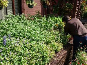 丈が高くなった植物を剪定