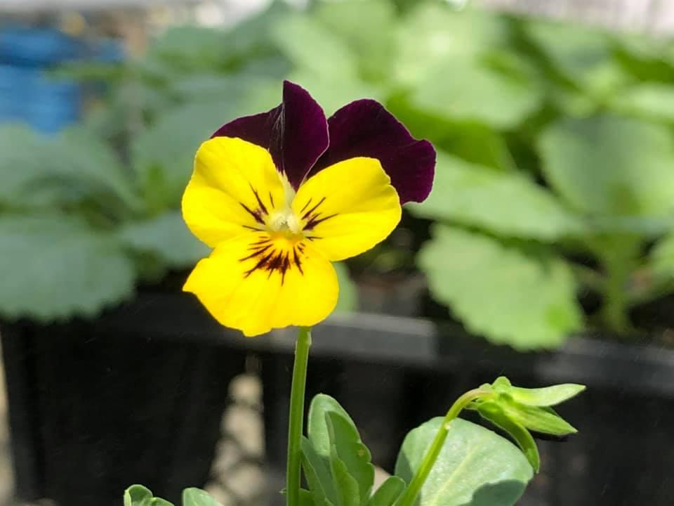 温室では開花した株も。こんなところにも秋の気配を感じます。