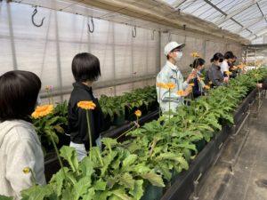 ガーベラを収穫する高校生ら