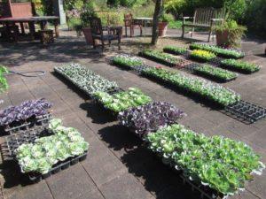 学生自ら種まきをし育てた花苗を植栽
