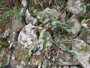 石垣の隙間に生える樹木