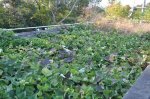 屋上緑化園のサツマイモ
