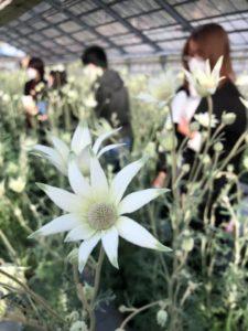 柔らかな感じのする花です