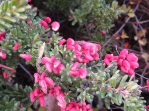 グレビレア・ラニゲラ(ヤマモガシ科グレビレア属)花のアップ