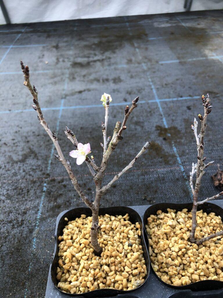 分枝した挿し穂を挿し木したトウカイザクラ