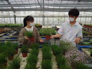 カスミソウの苗を選ぶ学生ら