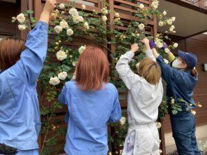 バラの花柄を摘む学生ら