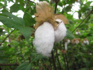 和綿の綿花