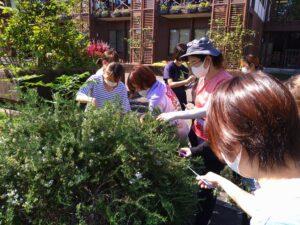 園芸療法ガーデンでローズマリーの収穫