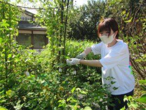 和綿を収穫する学生